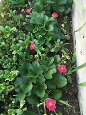 20 Red Flowering Everbearing Strawberry Plant Seeds -USA GROWN