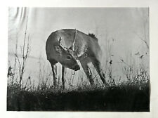 A Young Buck. Enlargement from photograph by W. E. Carlin. print 1902