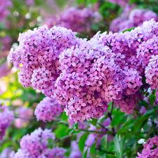 50Pcs Purple Lilac Seeds Bonsai Plant Tree House Herb Garden Flower Pot Decor