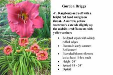 "Perennial - Daylily ""Gordon Briggs"" Clump Sale (5 Fans)  (Live plant)"