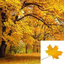 25 Seeds SUGAR MAPLE SYRUP TREE Native Rock Fall Color Acer Saccharum Seeds new