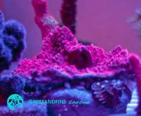 Live Deep Red Montipora SPS Coral Frag (Saltwater)