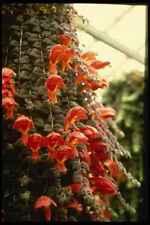124081 Columnea Gloriosa Goldfish Plant A4 Photo Print
