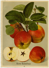 Antique Print-ROTER BELLEFLEUR-MALMEDY-APPLE-10-Bissmann-ca. 1920