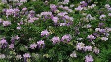 Flower seed - Perennial Purple Alfalfa seeds Medicago sativa lucerne