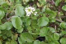 Watercress (Nasturtium Officinale)- 100 seeds