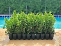 "Thuja Emerald Green Arborvitae - 50 Live Trees - 2"" Pot Size - Evergreen Privacy"