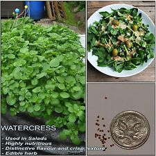 AQUA WATERCRESS SEEDS (Nasturtium officinale); Vitamin rich edible herb