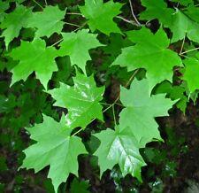 Zucker-Ahorn Acer saccharum Pflanze 60cm Ahorn Zuckersaft Ahornsirup sehr selten
