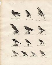 GRAVURE XVIIIe / OISEAUX PARLEURS Corneille, corbeau, merle, mainate, bouvreuil