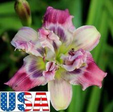 Little Swirling Daylily Plant 1 fan