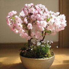 New listing 20Pcs Bonsai Tree japanese sakura seeds bonsai flower Cherry Blossoms seeds ev