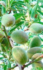 Mandelbaum 'Guara' - Riesen Süßmandel - Winterharte Pflanze 140-170cm