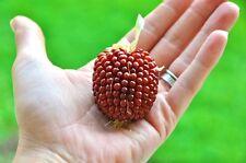 50 Graines Bio Maïs fraise , Zea Mays Ruby ,Red Strawberry Popcorn Non-Gmo seeds