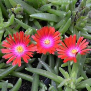 Ice Plant, Delosperma 'Jewel of the Desert Garnet'  – Jumbo Plug Plant