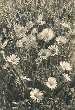 Common daisy flowers photo postcard Benedikt Rast Fribourg Marguerites Suisse