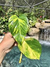 Epipremnum Aroid Golden Pothos Large Climbing Vine Variegated Top Cutting Plant