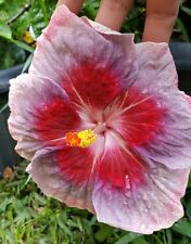"""EXOTIC *CITY SLICKER* TROPICAL HIBISCUS PLANT 10"""" TALL FLOWERS CHANGE COLORS"""