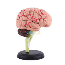 4D Anatomical Models Medical Human Brain Structural Model Teaching Training Tool