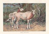 C1914 Naturel History Imprimé~ Sable Antilope ~ Lydekker