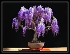 JACARANDA mimosifolia - 60 Bonsai seeds - Tree - SOW ALL YEAR