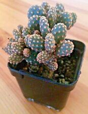 Opuntia Rufida Minima - Cute Cactus - Succulent - Indoor Plant - Houseplant