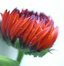 40+ CALENDULA RED/BLACK  FLOWER SEEDS / RE-SEEDING ANNUAL