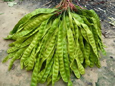 NEW!! PARKIA SPECIOSA HASSK 20 seeds /Bitter Bean /Twisted/Stink bean Thai Food