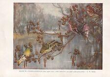VINTAGE BIRD PRINT ~ LESSER-REDPOLLS & SISKINS