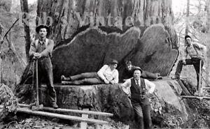 1900 Old Vintage Redwood Sequoia Logging Photo 5 California  Lumberjacks