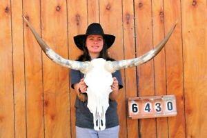 "STEER SKULL LONG HORNS MOUNTED 3' 4"" COW BULL TAXIDERMY LONGHORN H6430"