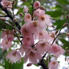 PRIMA DONNA Elaeocarpus reticulatis native pink flowers tree plant in 140mm pot