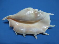 LARGE Lambis truncata, 270mm length =10.6 inch( 330 mm diameter)-Nice color