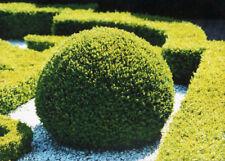 100 Seeds Boxwood Perennial Bonsai Plant Tree House Herb Garden Flower Pot Decor
