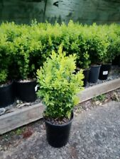 ENGLISH BOX ***BULK OFFER 100 PLANTS 35+cm for $375.00*** Garden Hedge Plant