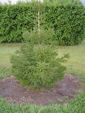 NORWAY SPRUCE TREES Picea abies 2-3' LOT OF 4