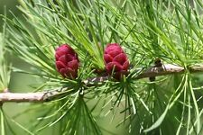 American Larch Seeds.    100 seeds.    trees, seeds