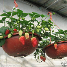 30 Seeds Potted Strawberry Seed Fragaria Ananassa Sweet Fruit Organic Seeds