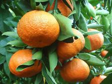 10 SEMI DI mandarino Citrus reticulata Blanco