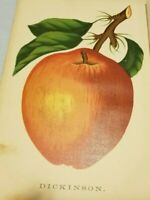 1885 Antique Color Print DICKINSON APPLE On Tree