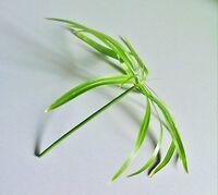 *CYPERUS* Zyperngras Zypergras Papyrus Wasserpalme Aquarienpflanze Wasserpflanze