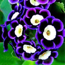 T 100Pcs Tricolor Petunien Samen Petunia Blumen fuer Balkon Garten Ampel Petunie