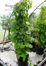 Kletterhortensie - Hydrangea petiolaris 80/100