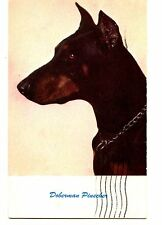 Doberman Pinscher Breed Pet Dog-Close up Animal Vintage Postcard-1961