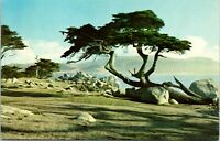 Vintage postcard Monterey Cypress, Pebble Beach California unposted, no message