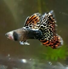 Dumbo Dark dragon Guppy 1 pair (FxM) live fish Goopies grade A USA Seller