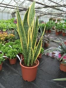 Sansevieria Laurentii Houseplant. 50cm tall. Mother in Laws Tongue