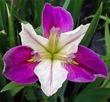 Live Colorific Bi-Color Louisiana Iris Aquatic Plant