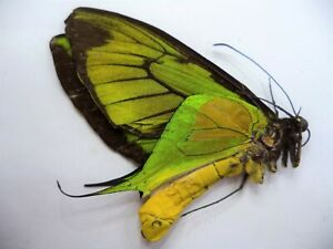 UNMOUNTED BUTTERFLIES/ORNITHOPTERA PARADISEA FLAVESCENS  MALE .