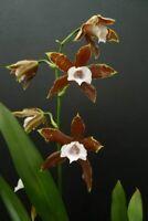 "Miltonia candida (Clara X Boa) Fabulous Orchid Species NEW IMPORT 4"" (12)"